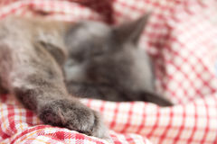 Gray kitten sleeping sweetly on back, stretched out paw Royalty Free Stock Photo