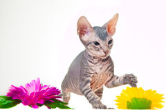 Gray kitten of sphinxith purple flower Stock Photo