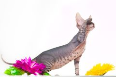 Gray kitten of sphinxith purple flower Royalty Free Stock Images