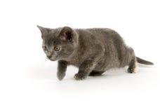 Gray kitten stalking prey. Gray kitten sneaking up on prey on white background Stock Image