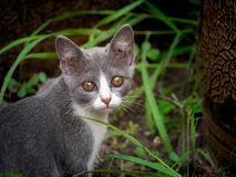 Gray Kitten Staring royaltyfria bilder