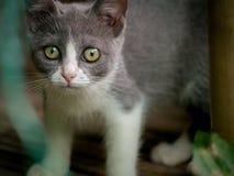 Gray Kitten Staring arkivfoto