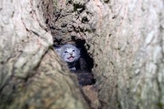 Gray kitten in a tree Royalty Free Stock Image