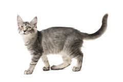 Gray kitten walks Royalty Free Stock Photography