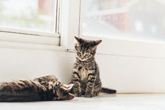 Gray Kitten Watching su Mate Playing en el piso Foto de archivo
