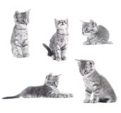 Gray kitten Royalty Free Stock Photography