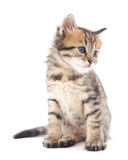 Gray kitten. Royalty Free Stock Image