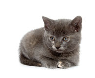 Gray kitten on a white background Royalty Free Stock Image