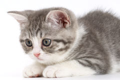 Gray kitten on a white background getting ready to jump. Royalty Free Stock Photos