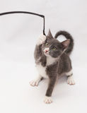 Gray kitten with white spots and yellow eyes clings toy Stock Image