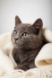 Gray kitten wrapped in a blanket, smoky cat in blanket on a gray Royalty Free Stock Images