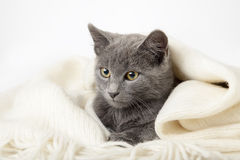 Gray kitten wrapped in a blanket, smoky cat in blanket on a gray Stock Images