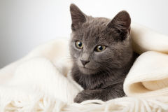 Gray kitten wrapped in a blanket, smoky cat in blanket on a gray Stock Photos