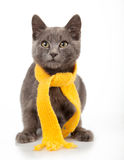 Gray kitten in yellow scarf on a white background, smoky cat in Stock Photography
