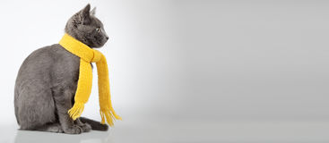 Gray kitten in yellow scarf on a white background, smoky cat in Stock Images