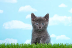 Gray kittens blue gray eyes in green grass sky background. Gray short hair kitten with blue gray eyes six weeks old sitting down in tall grass looking forward Royalty Free Stock Photography