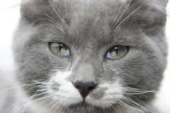 Gray kitty. 6 month old gray kitten,also known as a blue siberian Royalty Free Stock Photography