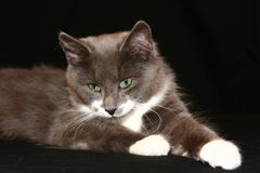 Gray kitty. Gray and white male cat Royalty Free Stock Photos