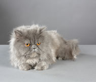 Gray Kitty Royalty Free Stock Photography
