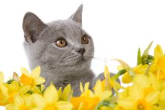 Gray kitty behind daffodils 2 Stock Images