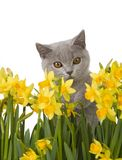 Gray kitty behind daffodils 3 Royalty Free Stock Photo