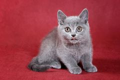 Gray kitty british cat. On red background stock photos