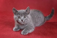 Gray kitty british cat. On red background royalty free stock photos