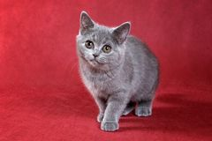 Gray kitty british cat. On red background royalty free stock photography