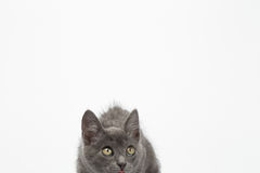 Gray Kitty Crouched on White and Looking up Stock Image