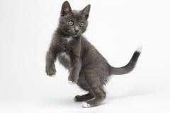Gray Kitty juguetón saltado en blanco fotografía de archivo
