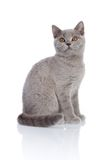 Gray kitty looking. Grey cat isolated on a white background Royalty Free Stock Photo