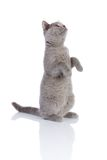 Gray kitty sitting up. Grey cat isolated on a white background Stock Photo