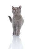 Gray kitty walking. Grey cat isolated on a white background Royalty Free Stock Photography