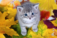 Gray kitty on yellow leaves Royalty Free Stock Photography