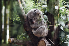 Gray Koala Between Brown Tree Barks Royalty Free Stock Images