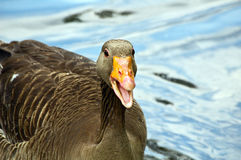 Gray lag goose Royalty Free Stock Photos