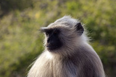 Gray langur Stock Photos