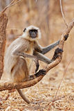 Gray Langur Royalty Free Stock Photos