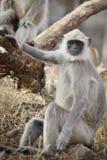 Gray Langur alias Hanuman Langur Lizenzfreie Stockbilder