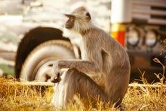 Gray Langur alias Hanuman Langur Stockfoto