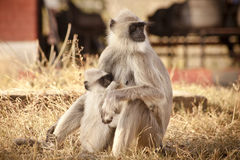 Gray Langur alias Hanuman Langur Lizenzfreies Stockfoto