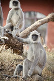 Gray Langur also known as Hanuman Langur Royalty Free Stock Photography