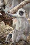 Gray Langur also known as Hanuman Langur Royalty Free Stock Images
