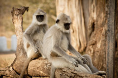 Gray Langur also known as Hanuman Langur Royalty Free Stock Photos