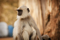 Gray Langur also known as Hanuman Langur Stock Images