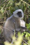 Gray Langur with baby - Hanuman langurs Royalty Free Stock Photography