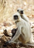 Gray Langur with baby Royalty Free Stock Photography