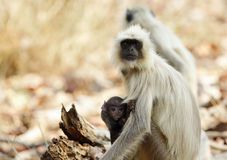 Gray Langur with baby Royalty Free Stock Image