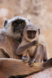 Gray langur with a baby sitting at the temple, Pushkar, India Stock Photo