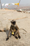 Gray Langur and Banana Stock Images